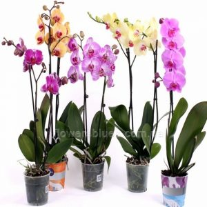 купити орхідею