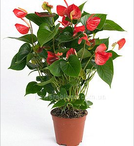 квітучі кімнатні рослини