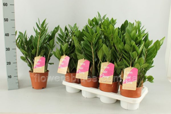 найпопулярніші кімнатні рослини