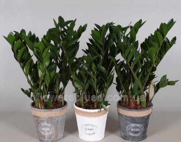 кімнатні рослини назви і фото