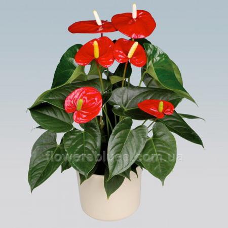 кімнатні квітучі вазони