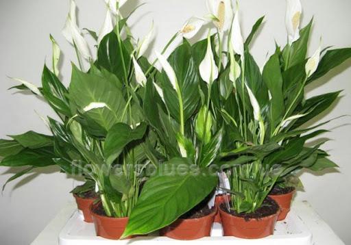 вазони кімнатні квітучі