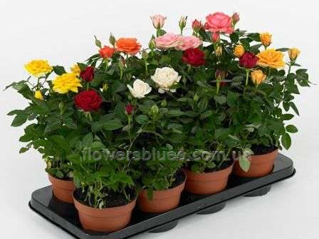 рози вазонок