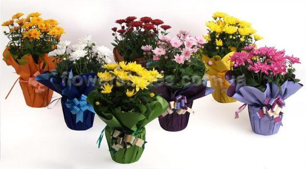 квіти кімнатні