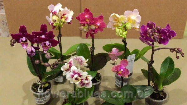 вазонок орхідеї