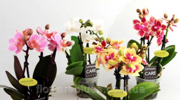кімнатна орхідея