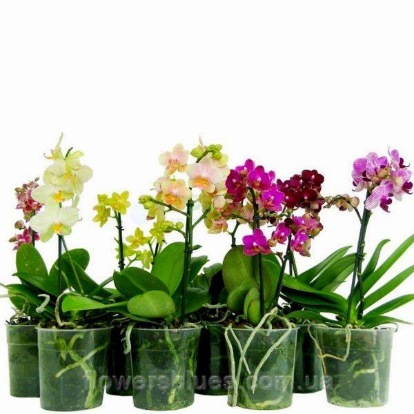 орхідея кімнатна