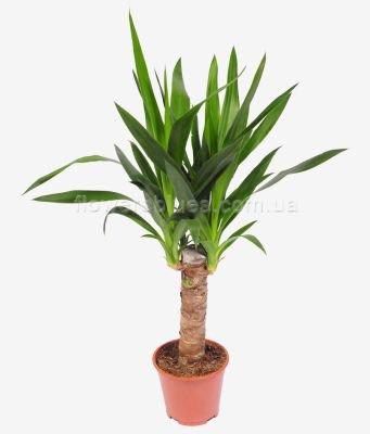 домашні вазони пальми
