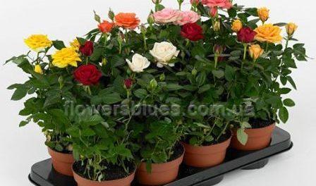 кущові троянди